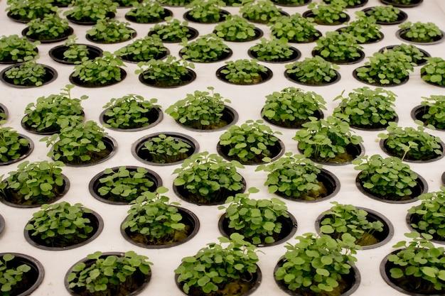 Close-up di basilico microgreens. il basilico crescente nel sistema idroponico germoglia la vista ravvicinata.