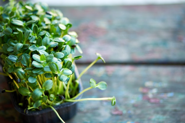 Primo piano di basilico girasole nella scatola, germinazione di microgreens, germinazione dei semi a casa, concetto di alimentazione sana e vegana.