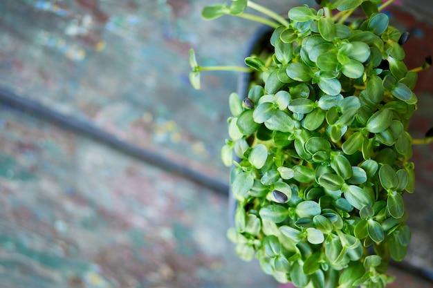 Primo piano di basilico girasole nella casella, germinazione di microgreens, germinazione dei semi a casa