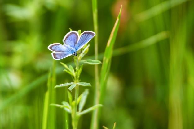 Primo piano di bella farfalla blu plebejus argus in habitat naturale