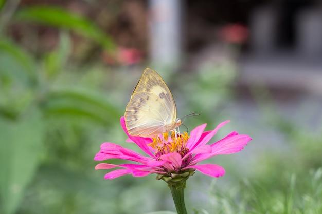 Chiuda sulla bella farfalla sul fiore della fioritura rosa