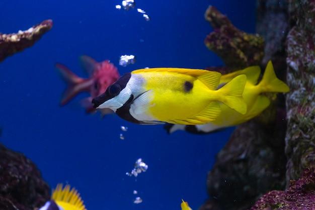 Chiuda sul bello pesce nell'acquario sulla decorazione del fondo delle piante acquatiche.