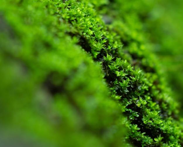 Chiuda sul bello muschio verde sul pavimento, primo piano del muschio, macro. bellissimo sfondo di muschio per carta da parati. fucus selettivo