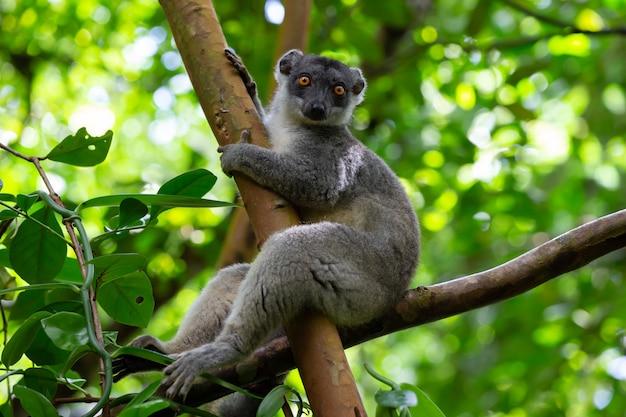 Primo piano sul bellissimo maki lemure in natura