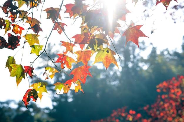 Primo piano di bellissime foglie di acero in una giornata di sole autunnale a taiwan senza spazio per la copia di persone.