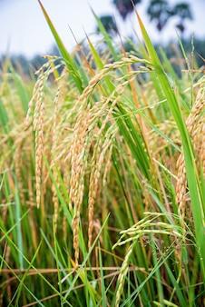 Close up bella natura verde pianta di riso con gambo giallo maturo orecchio di riso in risaia, tempo di raccogliere in fattoria di cereali e agricoltura in thailandia