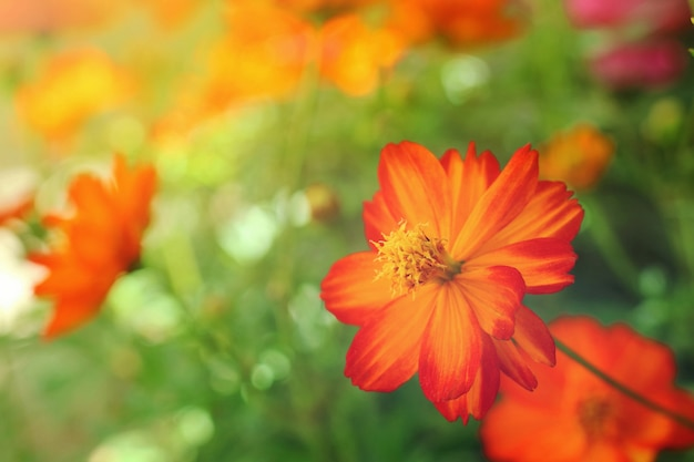 Chiuda sul bello fiore arancio e giallo dell'universo.