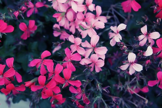 Primo piano di un bellissimo sfondo di fiori rosa