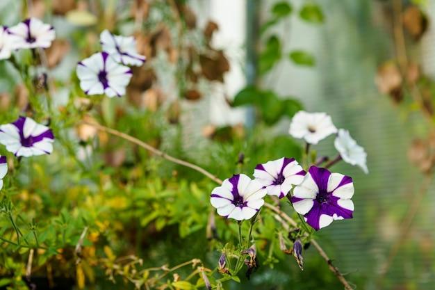Primo piano di bellissimi fiori rosa di petunia in un vaso in giardino con la luce del sole.