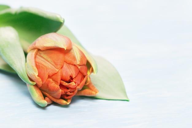 Primo piano di bella primavera tulipano fiore.