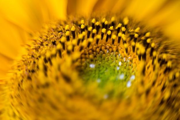 Primo piano di un bellissimo girasole, sfondo naturale astratto, fotografia macro
