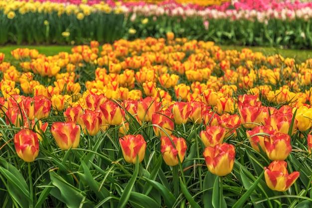 Primo piano sul bellissimo sfondo di fiori di tulipano