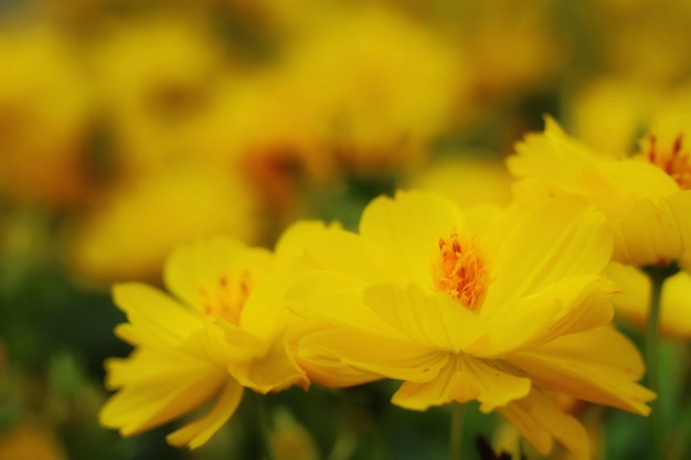 Chiuda sul bello universo giallo. soft focus con sfondo sfocato.
