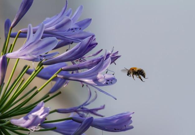 Primo piano di un'ape che vola verso i fiori di agapanthus blu