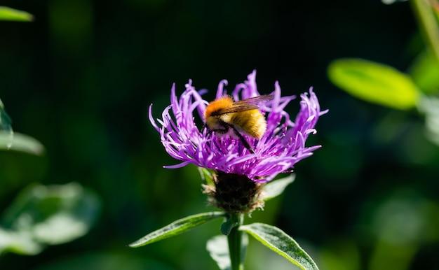 Primo piano un'ape si stabilì in cima raccogliendo il polline da un fiore viola selvatico
