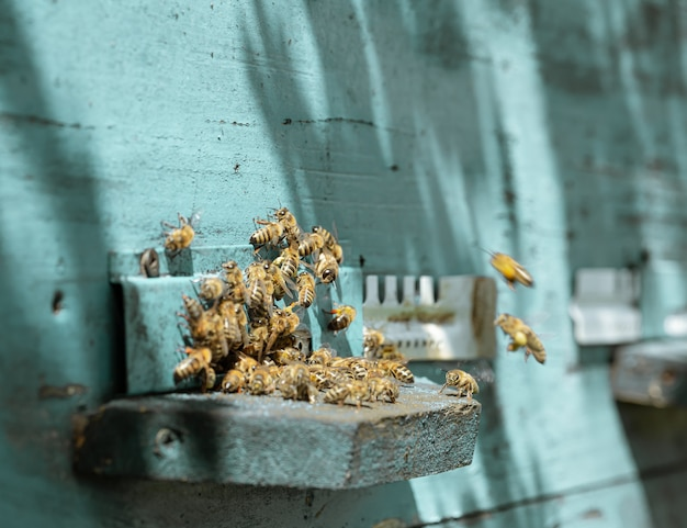Primo piano di uno sciame di api su un alveare di legno in un apiario