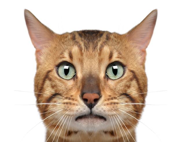 Primo piano di un gatto del bengala, isolato su bianco