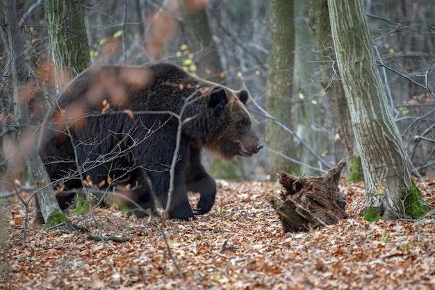 Primo piano grande orso bruno nella foresta autunnale
