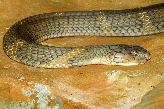 Chiuda sul grande serpente della cobra di re alla tailandia