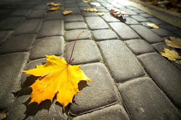 Chiuda su di grandi foglie di acero gialle che mettono sul marciapiede pedonale nel parco di autunno.