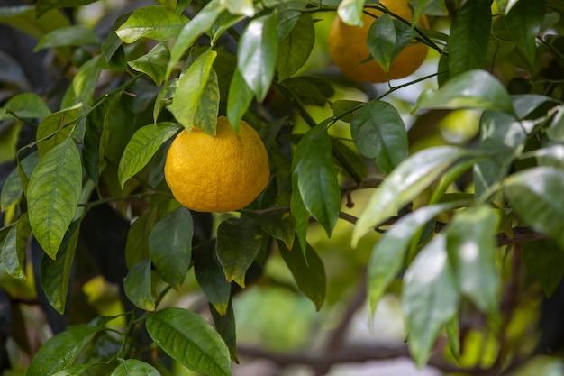 Close up bio o limone biologico sull'albero in enorme serra, concetto di cibo