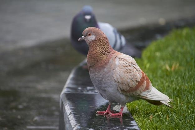Primo piano delle colombe di uccelli sul marciapiede in parco pubblico