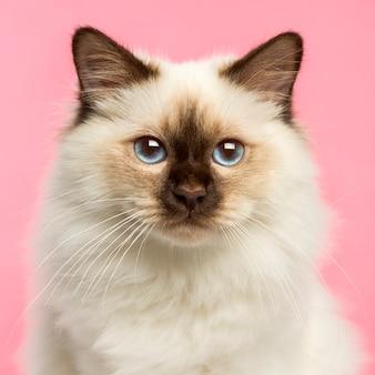 Primo piano di un gattino di birman che esamina la macchina fotografica sul colore rosa