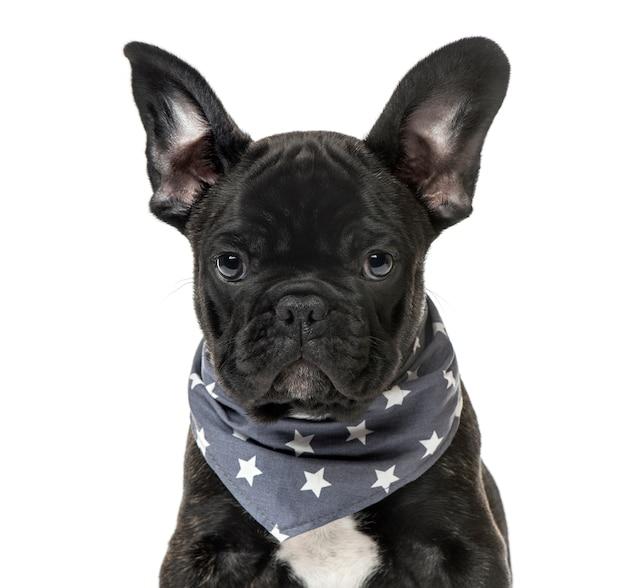 Primo piano di un cucciolo di bulldog francese nero con una sciarpa stellata, isolato su bianco