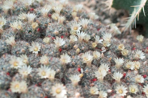 Primo piano sulla fioritura di cactus pungenti, cactacee o cactus