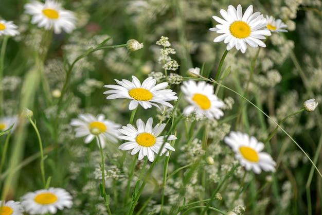 Chiuda sui wildflowers bianchi di fioritura della camomilla nel campo di estate