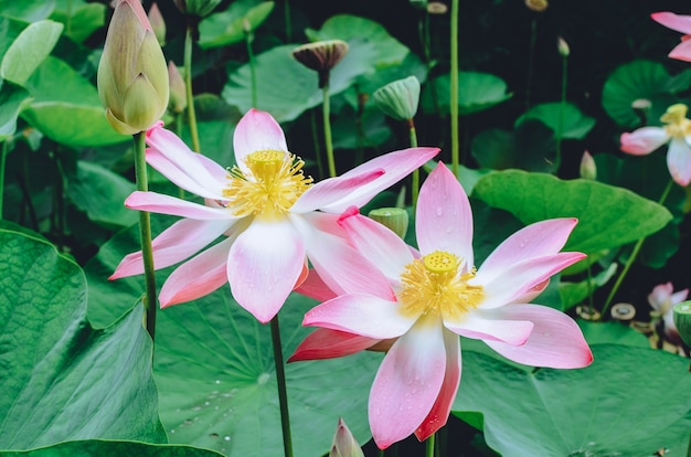 Primo piano della ninfea fantasia bianca, rossa e rosa in fiore