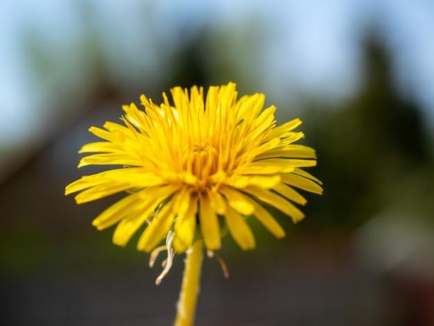 Primo piano di un dente di leone giallo in fiore. sfondo verde sfocato. giorno, messa a fuoco selettiva