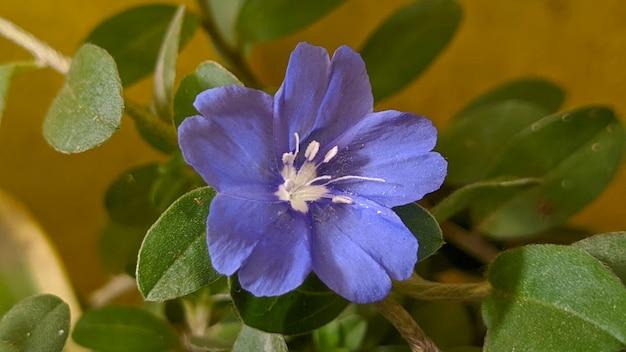 Primo piano fiore di violetta in un giardino
