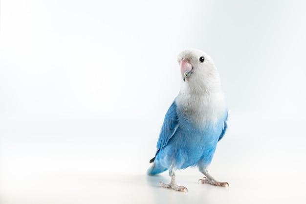 Primo piano su lovebird blu e grigio isolato