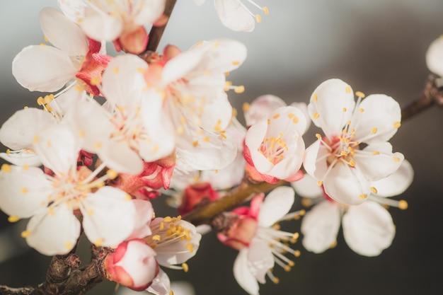 Primo piano del ramo con fiori di albero di albicocca rosa in piena fioritura