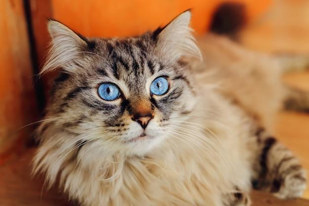 Un primo piano di un gatto riproduttore che giace sul pavimento e guarda l'obiettivo della fotocamera