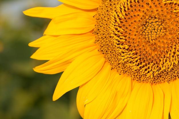 Chiuda sul giacimento dorato luminoso del girasole al tramonto.