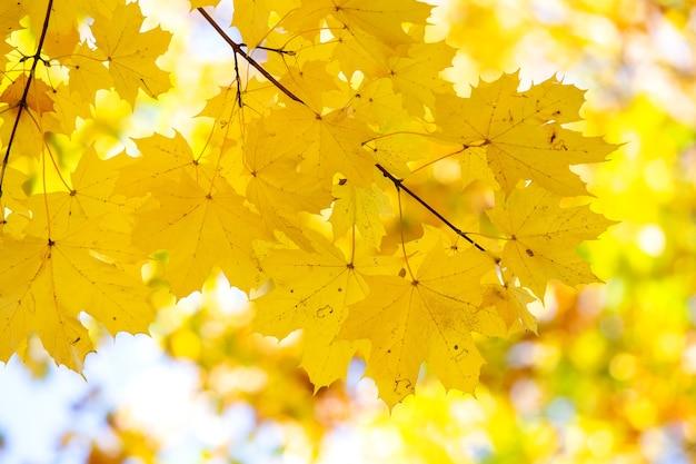 Primo piano di foglie di acero gialle e rosse luminose sui rami degli alberi autunnali
