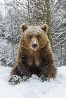 Orso bruno del primo piano che si siede in una posa divertente nella foresta di inverno. pericolo animale nell'habitat naturale.