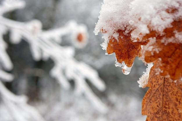 Primo piano di foglia di quercia marrone ricoperta di neve su sfondo sfocato. profondità di campo.