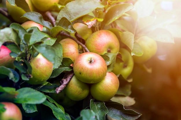 Mazzo del primo piano di belle mele verdi con le gocce di rugiada che appendono maturando sul ramo di melo con le foglie verdi accese dal sole luminoso dell'estate sul blu vago del bokeh. concetto di agricoltura.