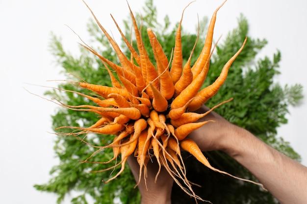 Primo piano del mazzo di carote di freschezza in mani maschii su fondo bianco.