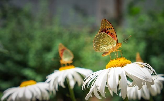 Farfalla del primo piano sul fiore bianco. farfalla variopinta di orticaria che si siede sui fiori della camomilla.