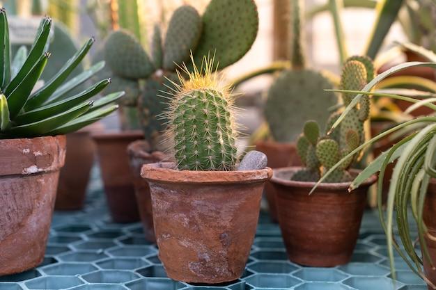 Chiuda in su della pianta del cactus nella vecchia pentola di terracotta di terracotta in serra