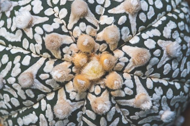 Primo piano del fondo delle asterie di astrophytum della pianta tropicale del cactus