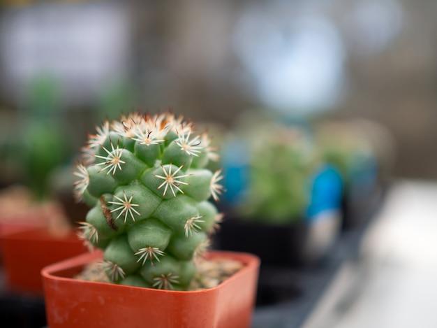 Stretto di un cactus