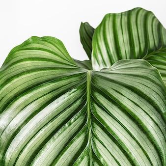 Primo piano di foglie di calathea orbifolia isolate su sfondo