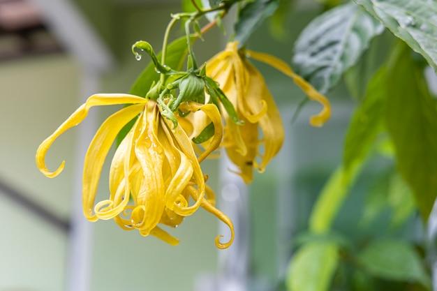 Primo piano di cananga odorata fiore con la foglia dopo la pioggia.