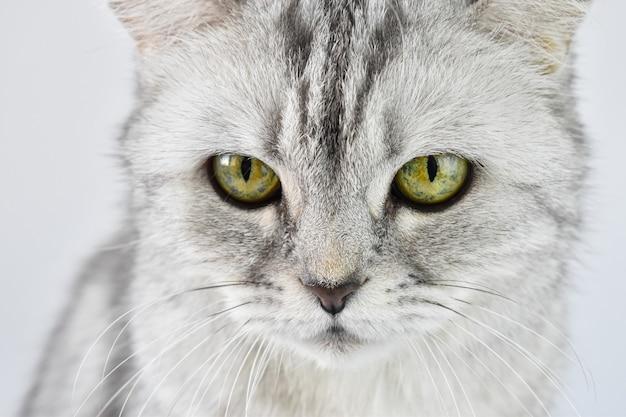 Primo piano degli occhi del gatto