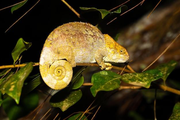 Primo piano sul camaleonte su un ramo in natura